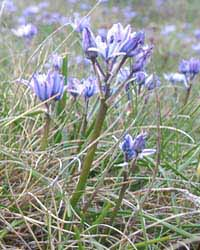 Scilla verna (Spring squill) in flower at Trwyn Eilian on 15th May 2004. An image from Plants, Flowers and Ecology of Anglesey. Click to go directly to the page. Photo: © D Perkins.