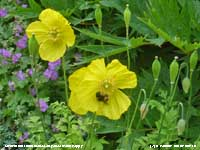Bumblebee visiting a yellow Welsh Poppy in the garden.