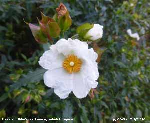 White Cistus one of 26 plants still flowering in the garden in mid January.