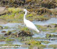 An obliging little egret poses for the camera.