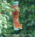 The first red squirrel spotted in the garden for over 40-years.