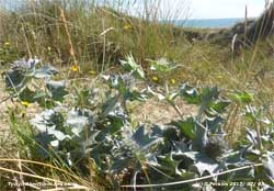 Sea holly within sight of the sea at Aberffraw dunes.