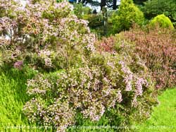Corsican and Cornish heaths in flower in the garden.