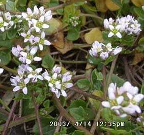Early scurvygrass (Cochleria danica).
