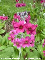 Fine cerise Primula candelabra growing in The Dell at Bodnant.